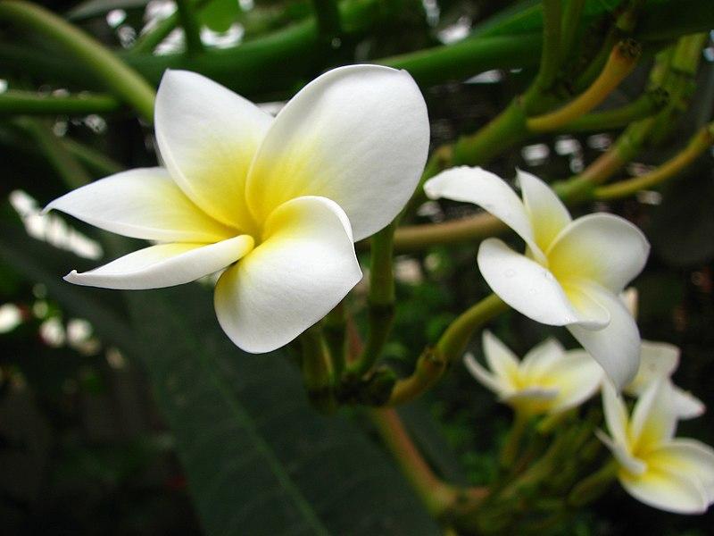Image:Plumeria alba.jpg