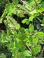 Podophyllum Spotty Dotty (14005032741).jpg