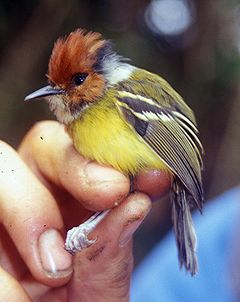 Rufous-crowned Tody-Flycatcher(P. ruficeps)