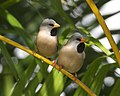Poephila acuticauda -Wulagi, Darwin, Australia-8a.jpg