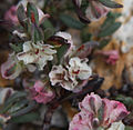 Polygonum shastense pink-n-white close.jpg
