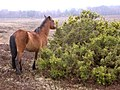 Pony eating gorse at Gurnetfields Furzebrake, New Forest - geograph.org.uk - 142561.jpg