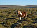 Pony on Cudlipptown Down - geograph.org.uk - 297430.jpg