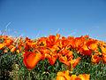 Poppies (2372543646).jpg
