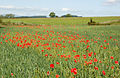 Poppies in a wheat field near Longhoughton - geograph.org.uk - 1378013.jpg