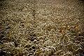 Poppy Wheat (42129310).jpeg