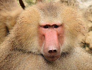 Baboon - Face of a hamadryas baboon (Papio hamadryas)