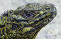 Portrait of Hydrosaurus amboinensis, male, Air besar, Ambon.png