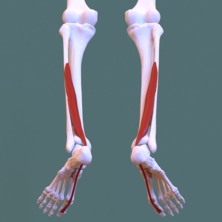Posterior compartment of leg - flexor hallucis longus.png