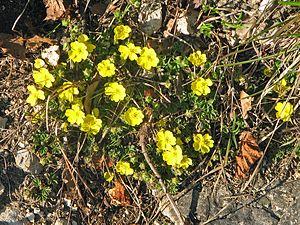 Star-haired spring cinquefoil (Potentilla pusilla)