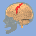 Precentral gyrus 3d.png