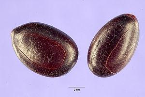 Prosopis africana - Prosopis africana seeds.