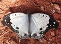 Protogoniomorpha anacardii duprei-Madagascar-01.jpg