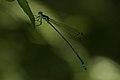 Protoneuridae-Kadavoor-2015-08-20-001.jpg