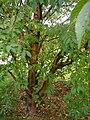 Prunus-maackii-habit.jpg