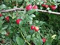 Prunus cerasifera 150495279.jpg
