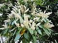 Prunus laurocerasus. Llorera (flores).jpg