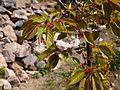 Prunus serrulata 2 (Poltava Botanical garden).jpg