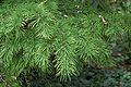 Pseudolarix amabilis 2.jpg