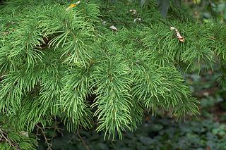 <i>Pseudolarix</i> monotypic genus of deciduous conifers in the family Pinaceae