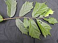 Pterospermum reticulatum-2-sengaltheri-tirunelveli-India.jpg