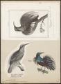 Ptilornis magnificus - 1700-1880 - Print - Iconographia Zoologica - Special Collections University of Amsterdam - UBA01 IZ16100055.tif