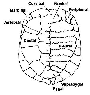 Turtle shell shield for the ventral and dorsal parts of turtles, tortoises and terrapins