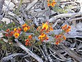 Pultenaea procumbens (5073041283).jpg