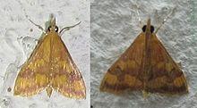 Family Pyralidae - VCSU Macro-Invertebrate Lab