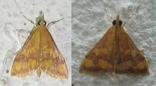 <i>Pyrausta phoenicealis</i> species of insect
