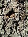 Quercus agrifolia-5.jpg