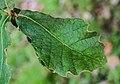 Quercus crassifolia in Hackfalls Arboretum (6).jpg
