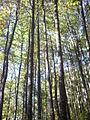 Quercus petraea Navarra(1).JPG