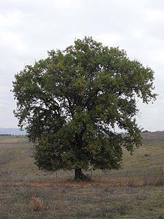 <i>Quercus pubescens</i> species of plant