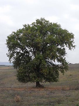 Quercus pubescens Tuscany.jpg