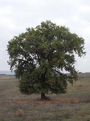 Quercus pubescens - Downy Oak