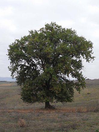Quercus pubescens - Image: Quercus pubescens Tuscany