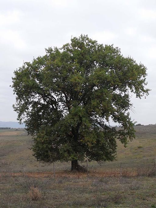 Quercus pubescens Tuscany
