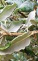Quercus suber. Sufrera (envés fueyes).jpg