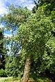 Quercus suber kz4.jpg