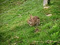 Rabbit, Kingussie - geograph.org.uk - 1288049.jpg