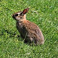 Rabbit in Cape Cod.jpg