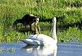 Raccoon and Trumpeter Swan on Seedskadee National Wildlife Refuge (26495310774).jpg