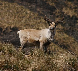 Reindeer in South Georgia - Individual with velvet-covered antlers from the southern herd.