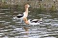 Recurvirostra americana -Tule Lake, California, USA-8 (2).jpg