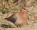 Red-collared dove.jpg