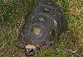 Red-footed Tortoise (Chelonoidis carbonaria) (9194511084).jpg