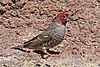Red-headed finch (Amadina erythrocephala) male.jpg