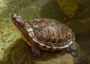 Red-eared slider - At the Cincinnati Zoo
