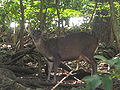 Red Brocket Deer in Barbados 02.jpg